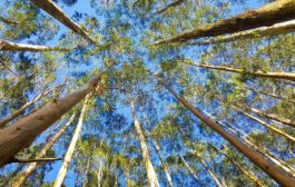 The Potential of Eucalyptus for Biomass...